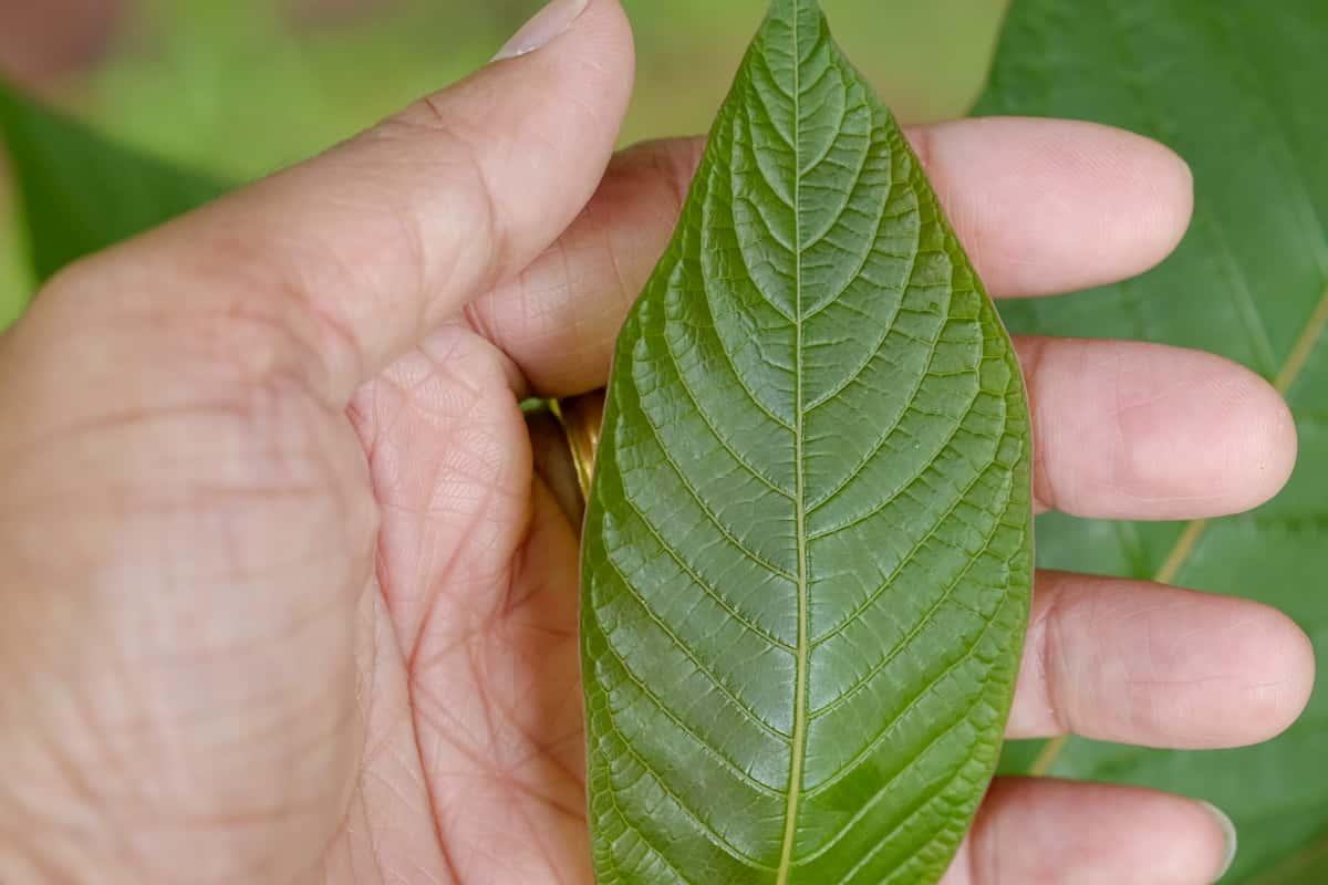 herbal rva