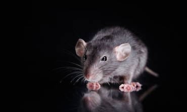 rodents reside in your home